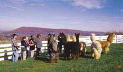 Introducing Alpacas to 6th Graders